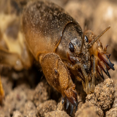 Southern Mole Crickets Tunneling Your Way