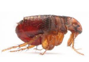 Fleas in Lawn