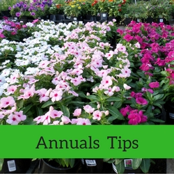 Annuals Quick Tips